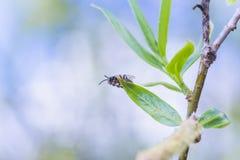 第一在柳属晨曲白柳离开在早期的春天在叶子前 从花和芽收集花粉 图库摄影