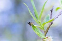 第一在柳属晨曲白柳离开在早期的春天在叶子前 从花和芽收集花粉 免版税库存图片