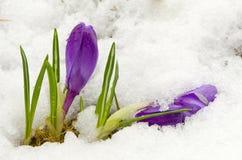 在雪的第一朵春天番红花花 免版税库存图片