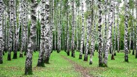 第一天秋天在桦树树丛里 免版税图库摄影