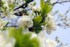 第一开花的树 库存照片