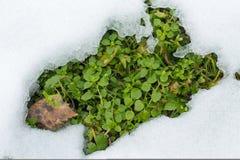 第一新鲜的绿草能从雪下面被看见 免版税库存图片