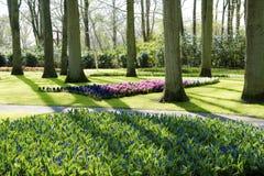 第一早晨太阳在春天-开花的五颜六色的风信花在Keukenhof公园 免版税图库摄影