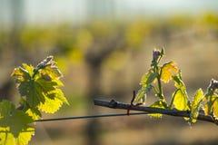 第一春天在trellised葡萄栽培离开在葡萄园 库存照片