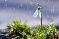 第一春天开花与雨下落的snowdrops 免版税库存图片