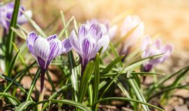 第一春天开花番红花 春天明亮的花卉背景 库存图片
