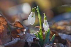 第一春天开花snowdrops 免版税图库摄影