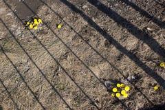 第一春天晴朗的花在北欧,太阳标志 Tussilago farfara药用植物 库存图片