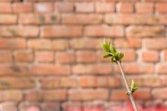 第一春天柔和的叶子,芽 库存照片
