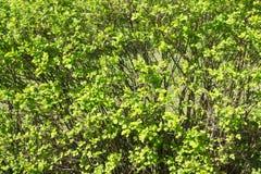 第一春天灌木 免版税库存图片