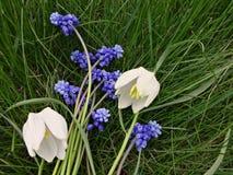第一春天的花束开花蓝色和白色 免版税库存图片