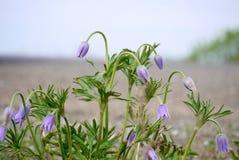第一春天紫色snowdrops的布什 免版税图库摄影