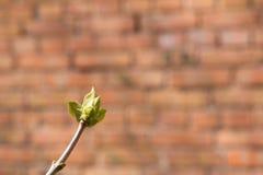 第一春天芽 免版税图库摄影