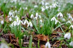 第一春天snowdrop开花背景 图库摄影