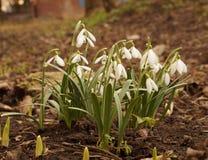 第一春天snowdrops 库存照片