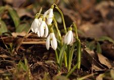 第一春天snowdrops 免版税图库摄影