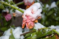 第一朵反常雪和花在雪 免版税库存照片
