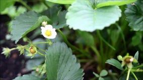 第一朵小白色草莓花在庭院里 看法的布什开花的草莓关闭