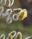 第一朵开花的柔荑花 库存照片