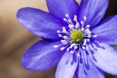 第一朵新蓝色紫罗兰在森林里 免版税库存照片