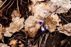 第一朵新蓝色紫罗兰在森林里 库存图片