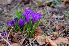 第一朵春天番红花开花背景 免版税库存图片