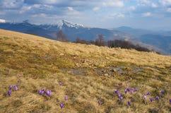 第一朵春天番红花花 免版税库存照片