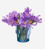 第一朵春天番红花花 库存照片