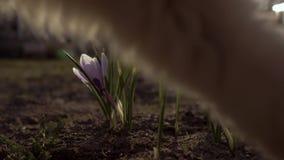 第一朵春天花在庭院里 在庭院的背景的Snowdrops 猫在的框架进来 影视素材