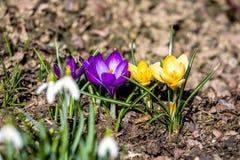第一朵春天花在庭院里 库存照片