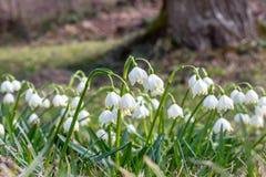 第一朵春天花在森林,snowdrops的芽,唤醒在阳光下的自然的标志里 库存照片