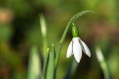 第一朵春天花是snowdrop 宏观射击 库存图片