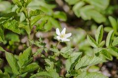 第一朵春天花白色银莲花属在森林,被弄脏的背景里 库存照片