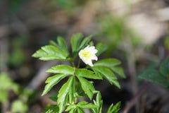 第一朵春天花白色银莲花属在森林,被弄脏的背景里 免版税图库摄影