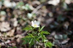 第一朵春天花白色银莲花属在森林,被弄脏的背景里 图库摄影