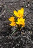 第一朵春天花的特写镜头-一朵小黄色番红花出现出于地面 免版税库存图片