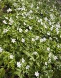 第一朵春天花-白色snowdrops 免版税库存照片