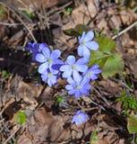 第一朵春天花-蓝色snowdrops 免版税图库摄影