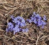 第一朵春天花-蓝色snowdrops 免版税库存图片