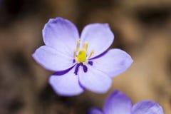 第一朵春天花 库存图片