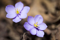 第一朵春天花 库存照片