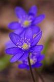 第一朵春天蓝色花 库存照片