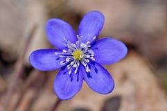 第一朵春天蓝色花 免版税库存图片