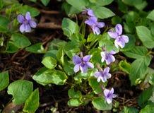 第一朵春天紫罗兰 库存图片