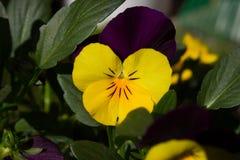 第一朵春天蝴蝶花 免版税库存照片