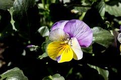 第一朵春天蝴蝶花 图库摄影