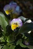 第一朵春天蝴蝶花 库存照片