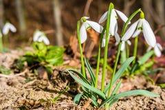 第一朵春天snowdrop花在森林里 免版税图库摄影