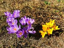 第一朵番红花在生长从地球的早期的春天 免版税图库摄影