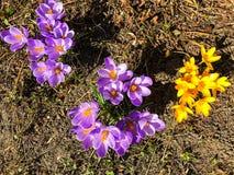 第一朵番红花在生长从地球的早期的春天 库存照片